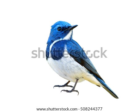 Blue bird, Ultramarine Flycatcher (superciliaris ficedula) fully standing with detail from head to toes, exotic nature Royalty-Free Stock Photo #508244377