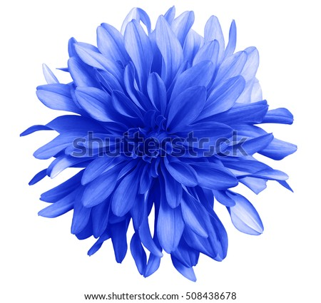 blue flower on a white  background isolated  with clipping path. Closeup. big shaggy  flower. Dahlia. #508438678