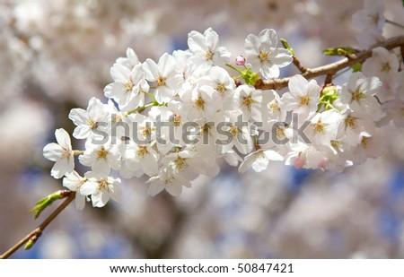 White Blossom Branch #50847421