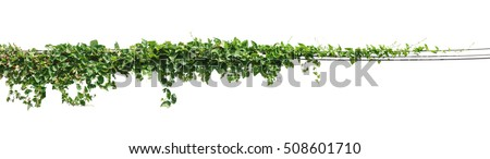 Vine plant, Ivy leaves on poles isolated on white background #508601710