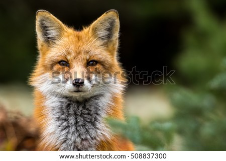 Red Fox - Vulpes vulpes, close-up portrait with bokeh of pine trees in the background. Making eye contact.