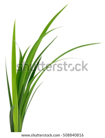 Long blades of green grass isolated on white background. #508840816