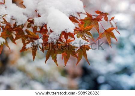 red maple tree under snow #508920826