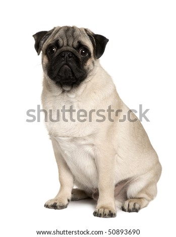 Young Pug, 6 months old, sitting in front of white background