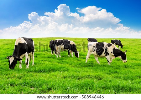 Cows on a green field and blue sky. #508946446