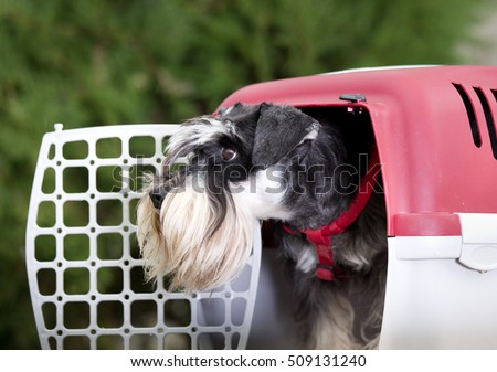 Cute Miniature schnauzer looking from dog carrier with open door #509131240