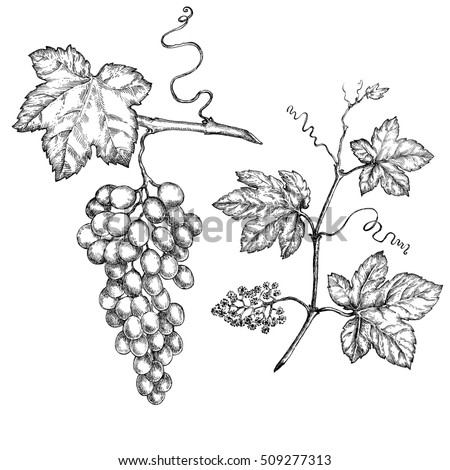 Hand drawn illustrations of  grapes. Vine glass and branch of grapes.  Design elements for the graphic design of the menu bars, restaurants, invitations, announcements.