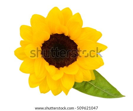 beautiful sunflower isolated on white background #509621047