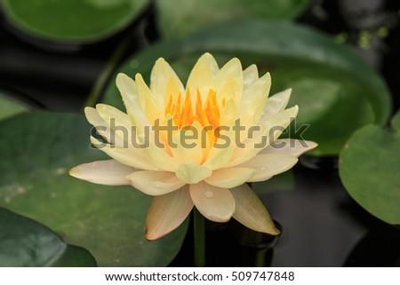 lotus flower in pond #509747848