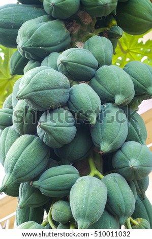 Many green papayas on tree, bunch fruits. #510011032