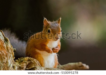 British native Red Squirrel with front paws up on Brownsea Island, Dorset #510095278