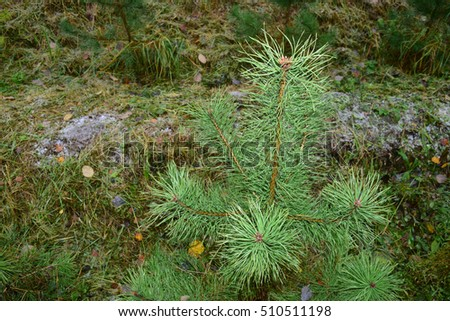 A view of the green small pine trees in the Russian forest #510511198