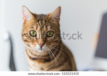 The leopard cat (Prionailurus bengalensis). isolated on a grey background looking at you. Profile picture.