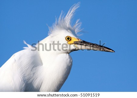 Closeup of a Snowy Egret against a blue sky background. #51091519