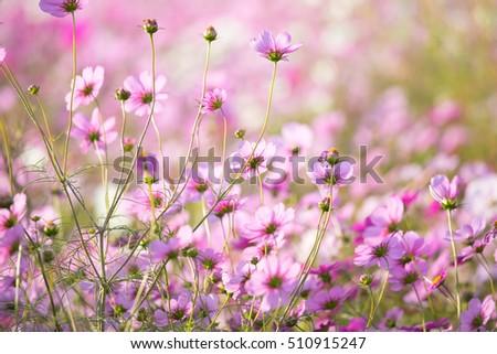 Flower field of Cosmos #510915247