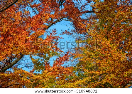 tall trees with yellow and orange foliage in autumn forest on sunny day with blue sky #510948892