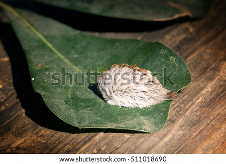 Caterpillar of the southern flannel moth on oak leaf. Venomous spines under the hairs can produce a very painful sting, which is why this is the most dangerous caterpillar in the United States. #511018690