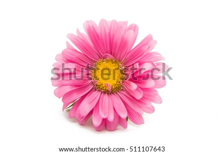 aster flower on a white background #511107643