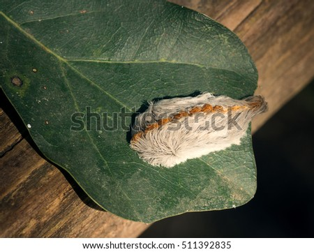 Caterpillar of the southern flannel moth on oak leaf. Venomous spines under the hairs can produce a very painful sting, which is why this is the most dangerous caterpillar in the United States. #511392835