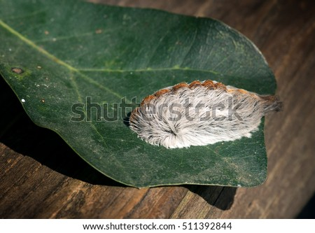Caterpillar of the southern flannel moth on oak leaf. Venomous spines under the hairs can produce a very painful sting, which is why this is the most dangerous caterpillar in the United States. #511392844
