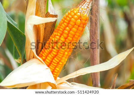 Close up picture of Dried corn on the field #511424920