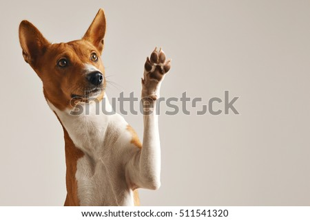 Adorable brown and white basenji dog smiling and giving a high five isolated on white Royalty-Free Stock Photo #511541320