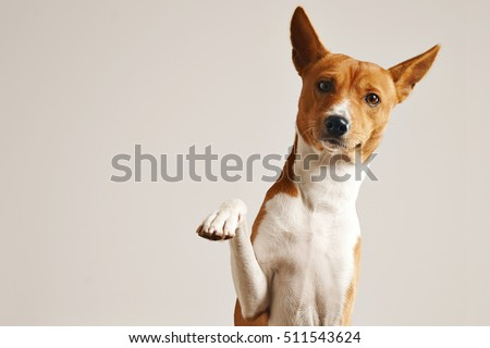 Friendly smart basenji dog giving his paw close up isolated on white #511543624
