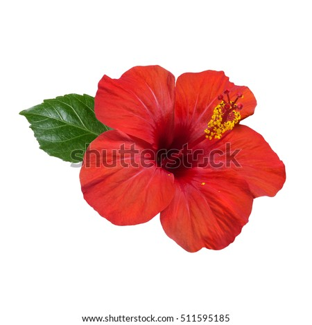 bright large flower of red hibiscus isolated on white background #511595185