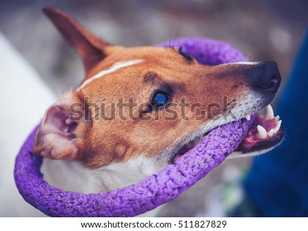Little Jack Russell puppy playing with toy outdoors. Cute small domestic dog, good friend for a family and kids. Friendly and playful canine breed #511827829