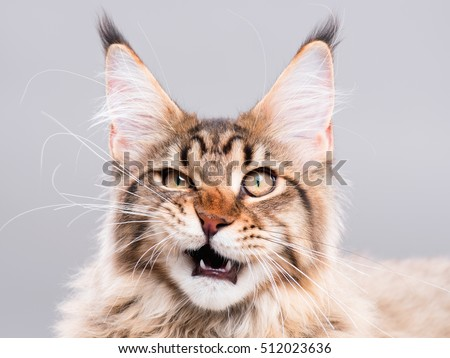 Portrait of domestic black tabby Maine Coon kitten - 5 months old. Cute striped kitty looking at camera. Beautiful young cat make funny face on grey background. #512023636