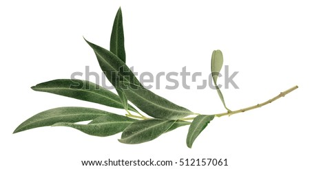 A photo of a green olive branch, isolated on white Royalty-Free Stock Photo #512157061
