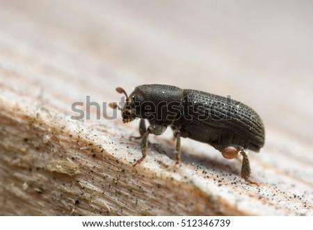Bark beetle, Hylastes beetle on wood #512346739