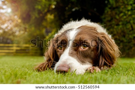 Springer Spaniel Dog Lying in Grass Garden with Sunlight Behind #512560594