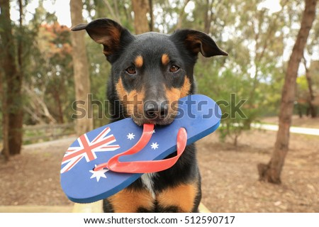 Cute black and tan Kelpie (Australian breed of sheepdog) holding a thong, decorated with the Australian flag, in its mouth. #512590717