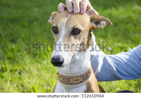 Close-up on a spanish sighthound. The owner pats her head fondly. The picture shows the partnership between a dog and his owner. They sit on a green meadow. #512610964