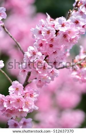 cherry blossom #512637370