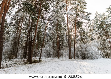 Landscape of winter pine forest covered with frost at sunny weather. First snow at autumn season. #512838526