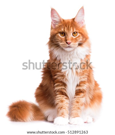 Portrait of domestic red Maine Coon kitten - 8 months old. Cute young cat sitting in front and looking at camera. Curious young orange striped kitty isolated on white background. #512891263