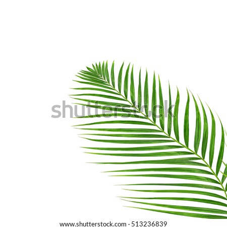 Green leaves of palm tree isolated on white background #513236839