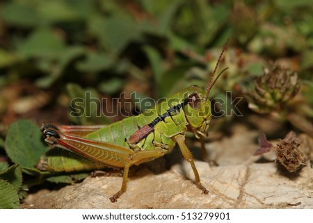 Colorful locust sitting on a stone. A close up picture with a green background.