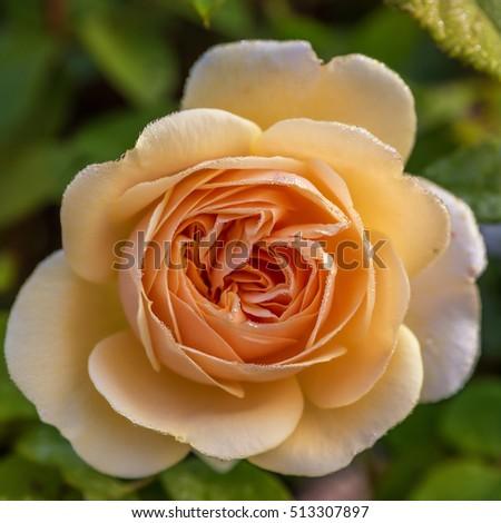 Blooming yellow rose in the garden on a sunny day. David Austin Rose Crown Princess Margareta #513307897