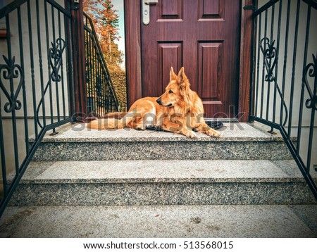 Dog guarding the entrance to the house #513568015