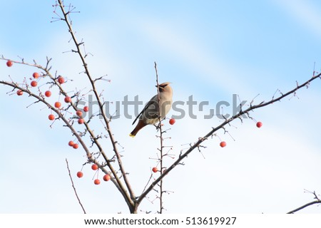 Cedar Wax Wing adult bird in a red berry tree in the fall after all the leaves have fallen and grey sky in the background #513619927