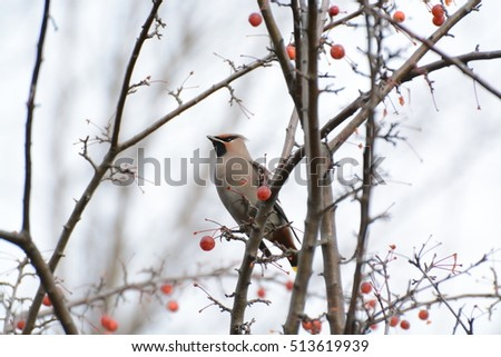 Cedar Wax Wing adult bird in a red berry tree in the fall after all the leaves have fallen and grey sky in the background #513619939
