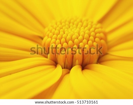 Macro shot maxican sunflower, yellow flower wallpaper background #513710161