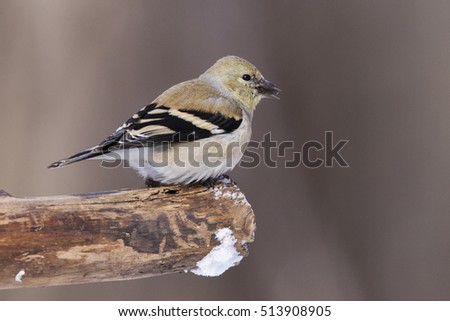 American Goldfinch (Carduelis tristis) in winter #513908905