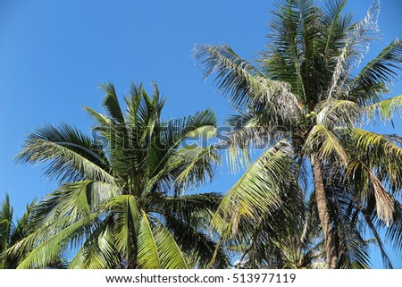 Coconut palms (Cocos nucifera) against a blue sky #513977119
