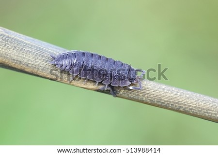 Common Woodlouse, Oniscus asellus   #513988414