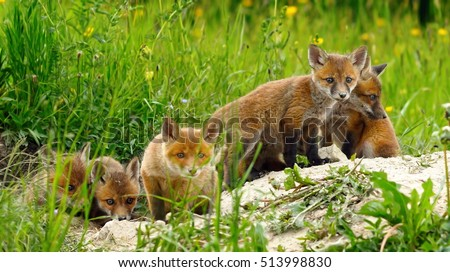 cute wild red fox cubs being curious about the photographer ( Vulpes ) #513998830