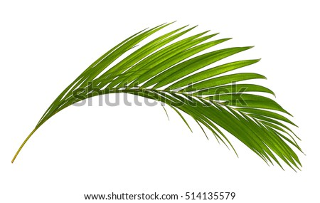 Green leaves of palm tree isolated on white background Royalty-Free Stock Photo #514135579